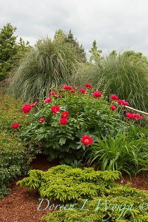 Paeonia Scarlet O'Hara_006