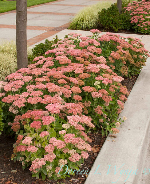 Sedum Autumn Joy_004