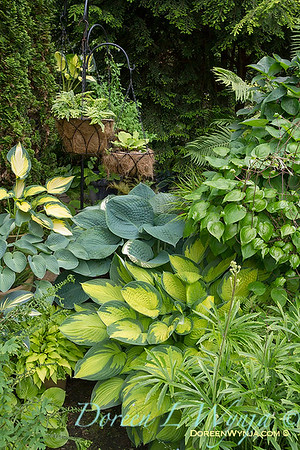Hosta Collection_0161AMG_L