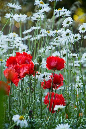 Cottage Garden Leucanthemum × superbum 'Becky' Papaver orientale Flamenco Dancer_1635