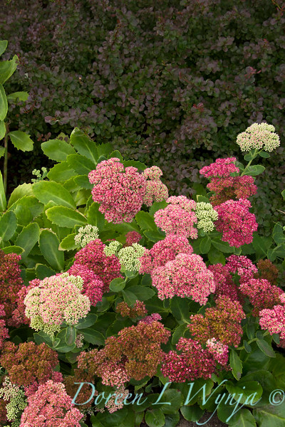 Sedum Autumn Joy_054