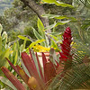 Alcantarea imperialis with flower spike with Macrozamia communis fronds_0601