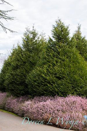 Erica carnea 'Springwood Pink'_1160