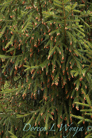 Picea_2234