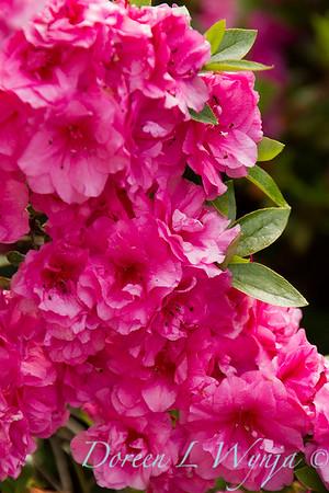 Azalea Kim's Double Pink_8498