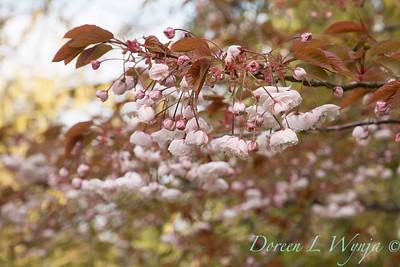 Prunus_6679