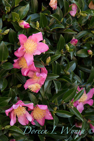 Camellia_8200
