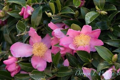 Camellia_8197