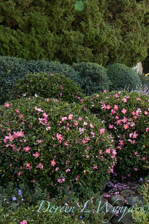 Camellia_8195