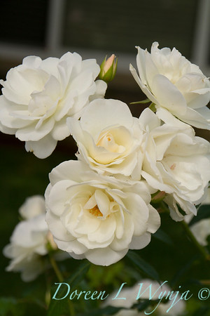 White rose_4426