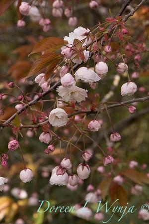 Prunus_6680