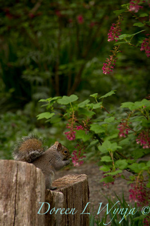 squirrel_7833