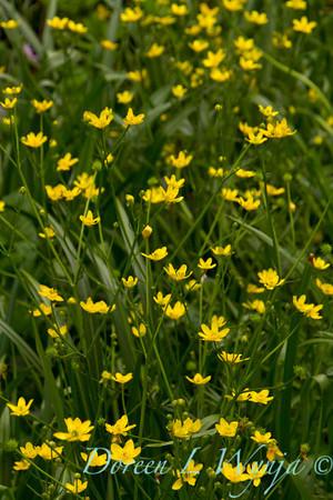 Ranunculus alismifolius_005