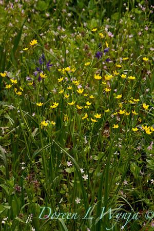 Ranunculus alismifolius_002