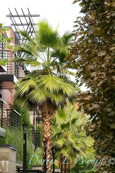 Washingtonia robusta_8823