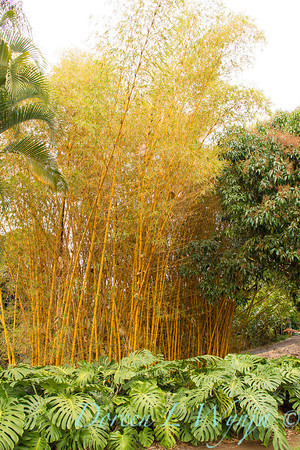 Philodendron hedge - Bambusa vulgaris Vittata_1674