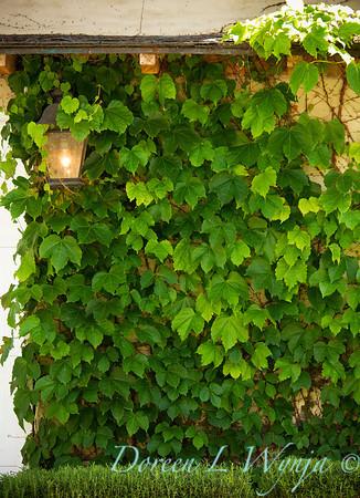 Parthenocissus tricuspidata Veitchii_040