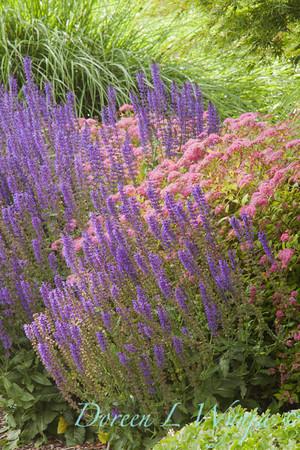 Salvia May Night Sage_009_Doreen Wynja