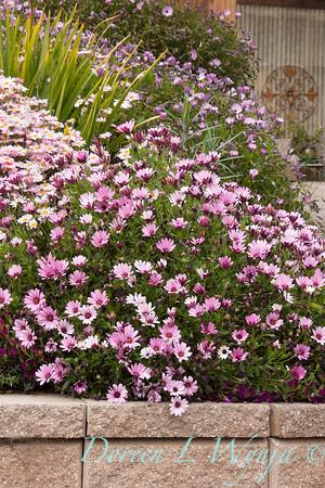 Osteospermum_Pink_002