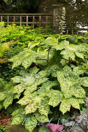 Podophylum Spotty Dotty - Woodland Garden_2566