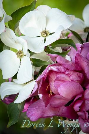 5259 Peaonia x 'Smith Opus 2' Takara - Cornus 'Venus' cut flowers_0976
