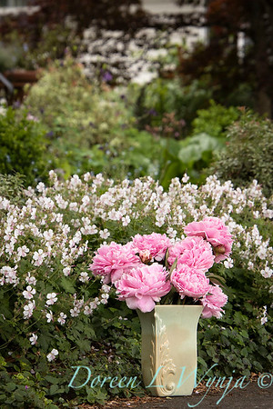 Paeonia lactiflora 'Sarah Bernhardt - Peony cut flowers_1198