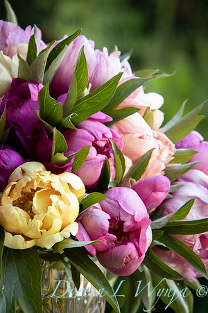 1958 Peaonia 'Singing in the Rain' - 5259 Peaonia x 'Smith Opus 2' Takara cut flowers_1053