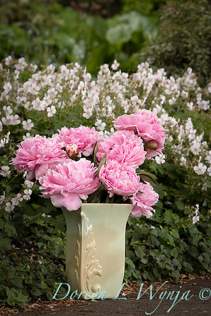 Paeonia lactiflora 'Sarah Bernhardt - Peony cut flowers_1196