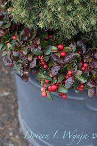 6462 Picea glauca 'Conica' – 3779 Gaultheria procumbens container_1176
