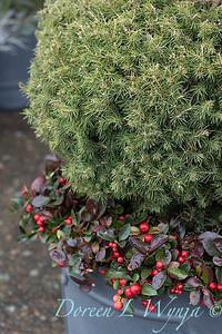 6462 Picea glauca 'Conica' – 3779 Gaultheria procumbens container_1175