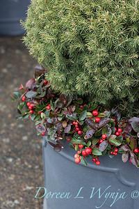 6462 Picea glauca 'Conica' – 3779 Gaultheria procumbens container_1174