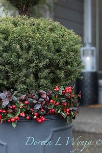 6462 Picea glauca 'Conica' – 3779 Gaultheria procumbens container_1178