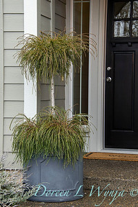 6657 Thuja plicata 'Whipcord' front porch container_1294
