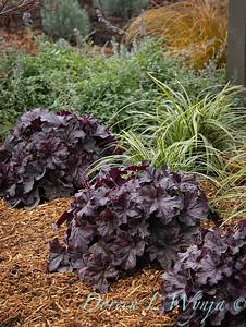 44088 Heuchera x villosa 'TNHEUGB' GRANDE black coral bells - 3583 Carex morrowii 'Ice Dance' mass planting_2520