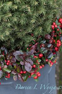 6462 Picea glauca 'Conica' – 3779 Gaultheria procumbens container_1177