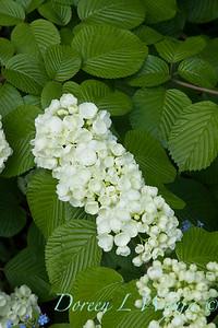 Viburnum plicatum f  plicatum 'Popcorn'_1405