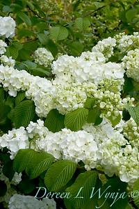 Viburnum plicatum f  plicatum 'Popcorn'_1407