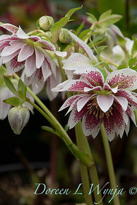Helleborus x hybridus Winter Jewels 'Double Painted'_1007
