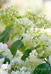Viburnum plicatum f  plicatum 'Popcorn'_1411