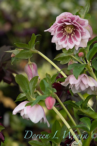 Helleborus x hybridus Winter Jewels 'Double Painted'_0958