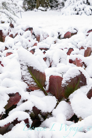 Bergenia cordifolia in snow_4226