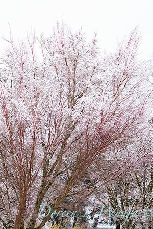 Acer palmatum 'Sango Kaku' coral bark in snow_4076