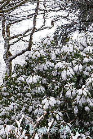 Rhododendron in snow_4051