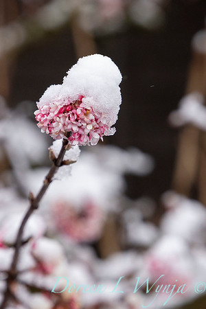 Viburnum x bodnantense 'Pink Dawn' snow capped_4723