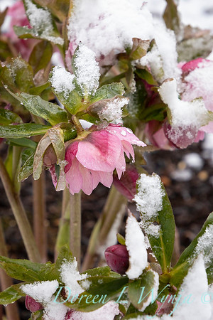 Helleborus x 'Windcliff Double Pink' in snow_4056