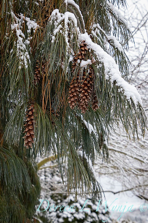 Pinus strobus 'Pendula' with cones in snow_4267