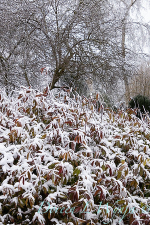 Itea virginica 'Henry's Garnet' in snow_4241