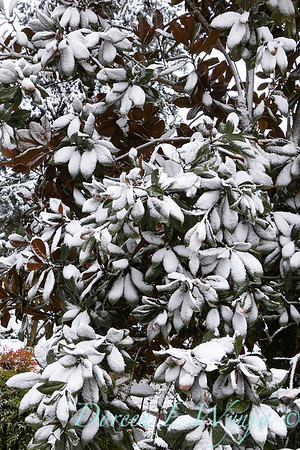 Magnolia in snow_4264