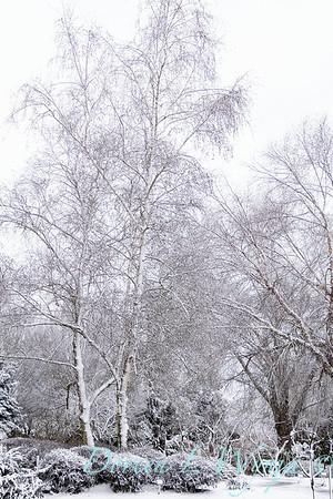 Betula utilis var  jacquemontii in snow_4228