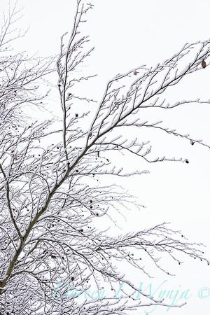 Liquidambar styraciflua in snow_4224